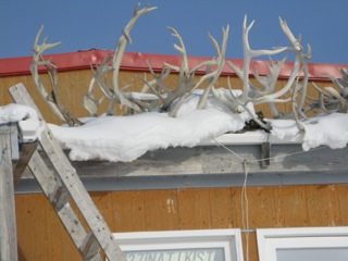 A collection of caribou antlers on top of a Cambridge Bay home.