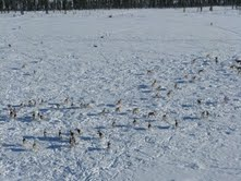 A herd of caribou out in the open on the lake ice - an area of better visibility for protection against wolves.