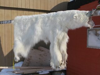 Polar bear populations are healthy; and local Inuit utilize the hides and meat for their livlihood.