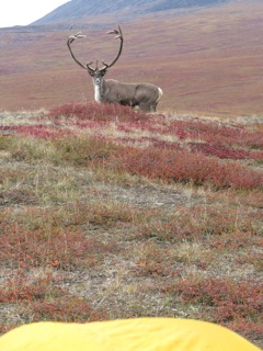 A nice bull caribou 20 yards from Art's tent in the northern Brooks Range